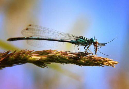 Комары желанная пища для многих насекомых и животных