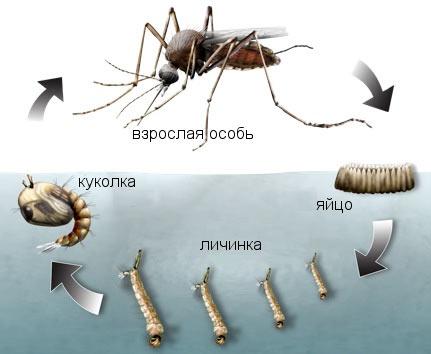 На фото показаны стадии развития насекомого