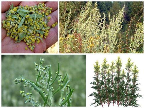 В борьбе с насекомыми следует использовать травы