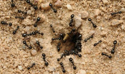 В огороде заводятся черные садовые и лесные муравьи