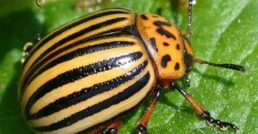 на фото колорадский жук