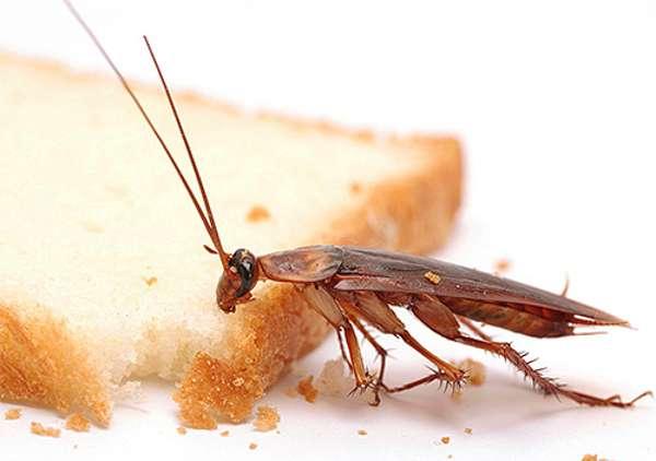 рыжий таракан на кухне