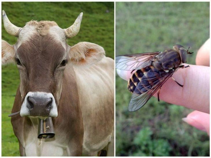 овод и коровы