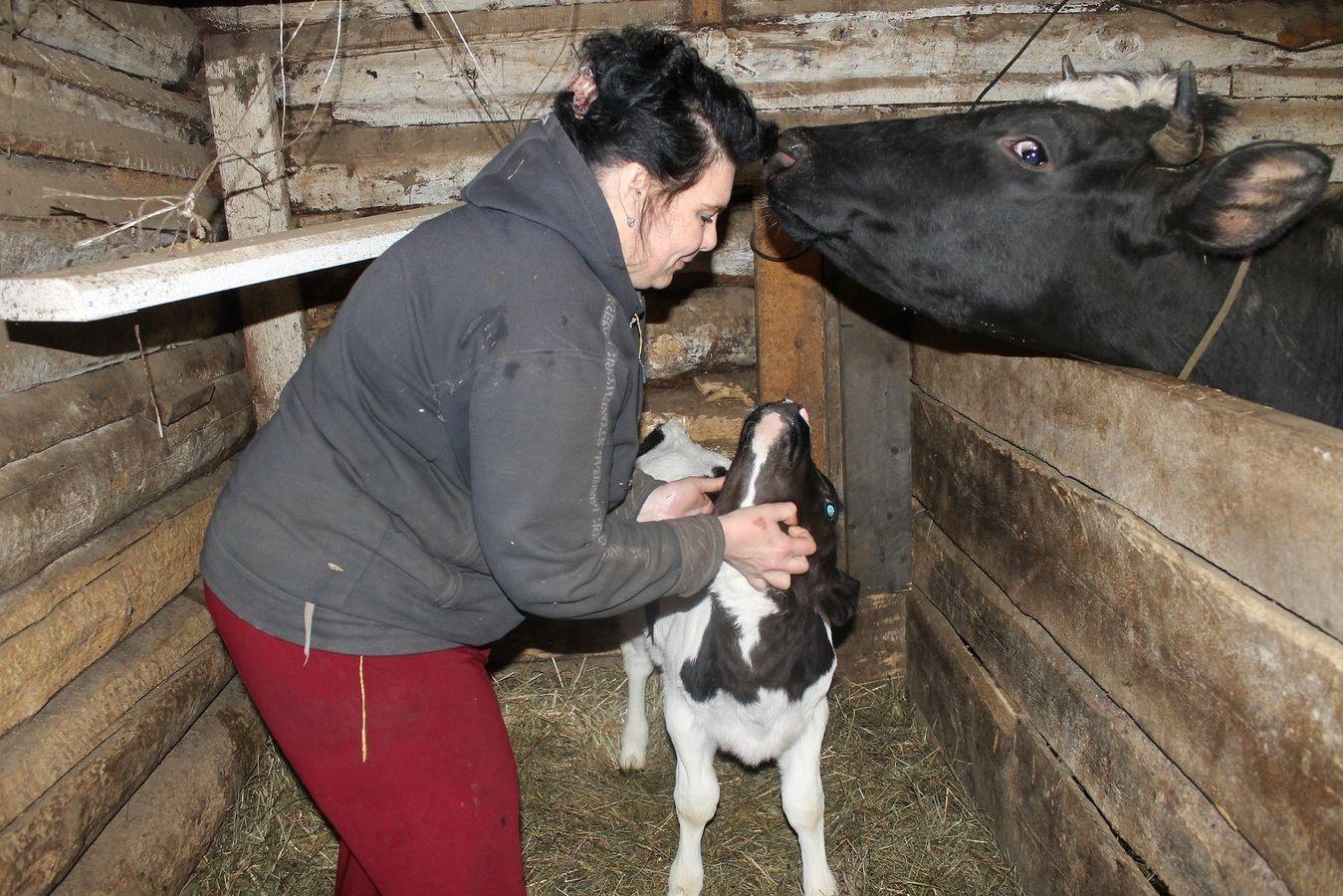 овод и крупный рогатый скот что делать